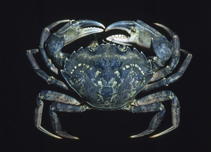 European Shore Crab