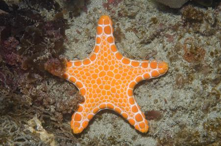 Vermillion Seastar