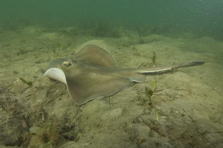 Sparsely-spotted Stingaree