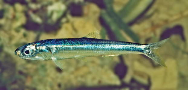 Australian Anchovy