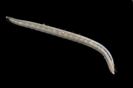 Opheliid worm