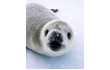 Enlarge image of Crabeater Seal