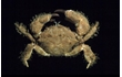 Enlarge image of Beaded Hairy Crab