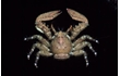 Enlarge image of Spiny Porcelain Crab