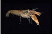 Enlarge image of Social Snapping Shrimp
