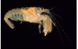 Enlarge image of Hairy Snapping Shrimp
