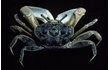 Enlarge image of Southern Sentinel Crab