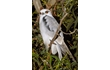 Enlarge image of Black-shouldered Kite