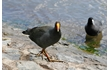 Enlarge image of Dusky Moorhen