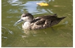 Enlarge image of Grey Teal