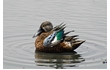 Enlarge image of Australasian Shoveler