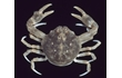 Enlarge image of Smooth Pebble Crab