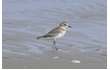 Enlarge image of Double-banded Plover