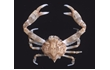 Enlarge image of Smooth Nut Crab