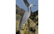 Enlarge image of White-faced Heron
