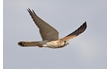 Enlarge image of Nankeen Kestrel
