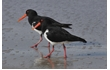 Enlarge image of Pied Oystercatcher
