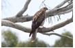 Enlarge image of Whistling Kite