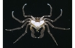 Enlarge image of Three-pronged Sea Spider