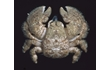 Enlarge image of Hairy Stone Crab