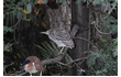 Enlarge image of Nankeen Night-heron