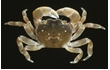 Enlarge image of Four-toothed Shore Crab