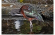 Enlarge image of Glossy Ibis