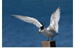 Enlarge image of Crested Tern
