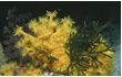 Enlarge image of Yellow Zoanthid Anemone