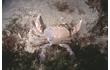 Enlarge image of Sand Crab