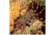 Enlarge image of Red Rock Crab