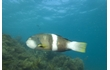 Enlarge image of Bluethroat Wrasse