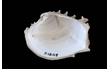 Enlarge image of Frilled Venus Shell