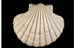 Enlarge image of Commercial Scallop