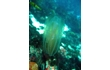 Enlarge image of Comb Jelly