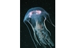 Enlarge image of Jellyfish