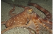 Enlarge image of Southern White-spot Octopus