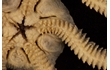 Enlarge image of Brittle Star