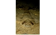 Enlarge image of Southern Sand Flathead