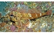 Enlarge image of Dragonet