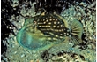 Enlarge image of Southern Pygmy Leatherjacket