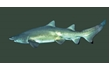 Enlarge image of Grey Nurse Shark