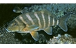 Enlarge image of Banded Morwong