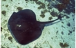 Enlarge image of Smooth Stingray
