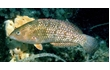 Enlarge image of Brownspotted Wrasse