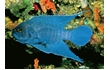 Enlarge image of Southern Blue Devil