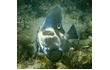 Enlarge image of Short Boarfish
