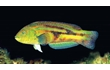 Enlarge image of Senator Wrasse