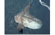 Enlarge image of Ocean Sunfish