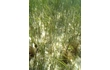 Enlarge image of Seagrass